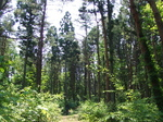 創生の森 杉林.JPG